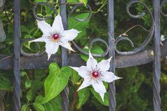 Decorative metal fence with white flowers Klimatis near private stock images