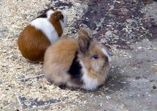 Decorative miniature rabbit Stock Photography