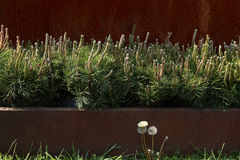 Decorative mountain pine. Stock Image