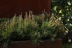 Decorative mountain pine. Stock Photos