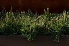 Decorative mountain pine. Royalty Free Stock Photos