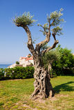 Decorative olive tree Stock Photos