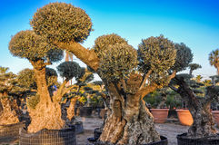 Decorative olive trees with globular crowns offered for sale. Royalty Free Stock Photography