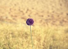 Decorative onion Allium, herbaceous biennial or perennial plant from the subfamily of Onions with a large bulb, beautiful backgrou. Decorative onion Allium stock images