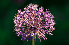 Decorative onion Royalty Free Stock Images