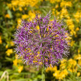 Decorative onion flower Royalty Free Stock Image