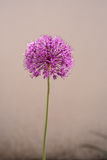 Decorative Onion flower Stock Images