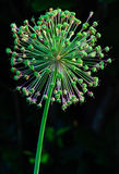 Decorative onion flower seed pods Royalty Free Stock Photos