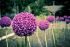 Decorative onion flowers, allium Royalty Free Stock Images