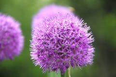 Decorative onions. Stock Photography