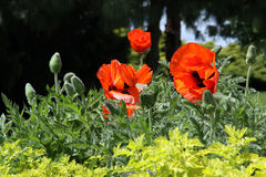 Decorative opium poppy with red flowers Stock Image