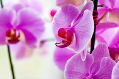 Decorative orchid pink tropical flower phalaenopsis closeup Stock Photo