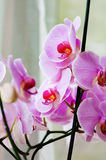 Decorative orchid pink tropical flower phalaenopsis closeup Stock Image