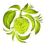 Decorative ornament soursop with leaves Stock Photos