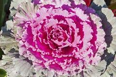 Decorative ornamental cabbage Stock Photos
