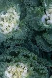 Decorative ornamental cabbage, flower cabbage background Royalty Free Stock Photography