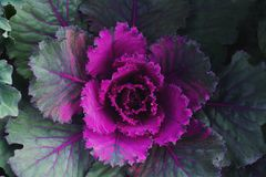 Decorative ornamental cabbage, flower cabbage background Royalty Free Stock Photos