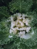 Decorative ornamental cabbage, flower cabbage background Stock Photography