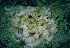 Decorative ornamental cabbage, flower cabbage background Stock Photos