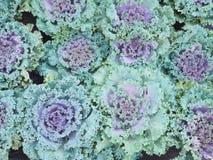 Decorative ornamental cabbage Royalty Free Stock Photos