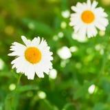 Decorative Ox-eye daisy flowers on green lawn Stock Photos