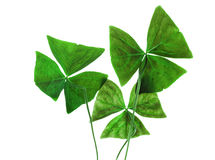Decorative oxalis leaves isolated on white Royalty Free Stock Photo