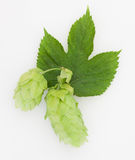 Decorative Pair of Hops with Leaf Isolated White Stock Photo