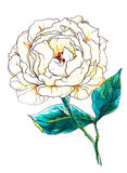 Decorative Pale yellow decorative Rose flower in blossom. Botanical illustration. Royalty Free Stock Photo