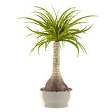 Decorative palm plant in the pot Royalty Free Stock Photography