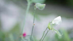 Decorative peas. Move camera with pods of peas on flowers stock video