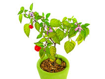 Decorative Pepper Plant. A decorative pepper plant with red peppers in a green pot isolated on white background Royalty Free Stock Photos