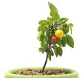 Decorative Pepper in Pot Stock Image