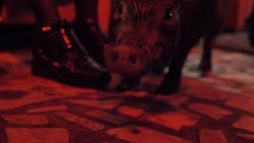 Decorative pig walks in dark room with red illumination, among legs of people stock video footage