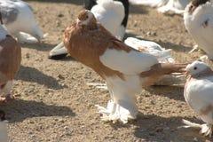 Decorative pigeon 6 Stock Photo