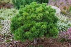 Decorative pine royalty free stock photography