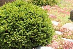 Decorative pine Stock Photography