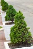 Decorative pine trees Royalty Free Stock Image