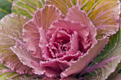 Decorative pink cabbage. Decorative curly pink cabbage with rain drops on the leaves Stock Photos