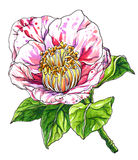 Decorative pink Camellia japonica. Botanical illustration. Stock Photos