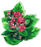 Decorative pink Kalanchoe cactus in blossom Royalty Free Stock Photos