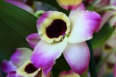 Decorative pink to white, yellow flower of Dendrobium orchid with dark purple center. Natural sunlight stock photo