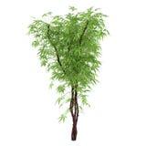 Decorative plant bush Royalty Free Stock Image