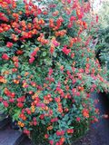 Decorative plant. With small flowers and red and yellow colors royalty free stock photos