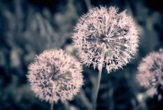 Decorative plant onion Christoph with spherical inflorescences. Spherical inflorescences of perennial herbaceous ornamental plants of Christoph`s onion stock photo