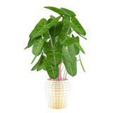 Decorative plant in the pot Stock Photos
