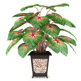 Decorative plant in the pot Royalty Free Stock Image