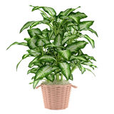 Decorative plant tree in the pot Stock Image
