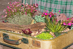 Decorative planted succulents in a suitcase. Stock Photography