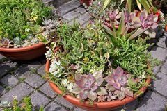 Decorative plants crassula and other succulents Royalty Free Stock Image