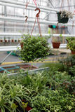 Decorative plants cultivation. Cultivation of decorative plants in a greenhouse royalty free stock photo